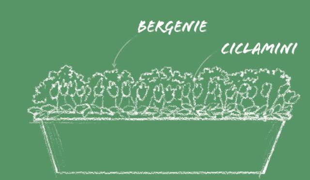 Se il balcone è soleggiato per mezza giornata, al mattino oppure al pomeriggio, significa che è esposto a Est oppure Ovest. I vasi fioriti a febbraio che vi proponiamo contengono i ciclamini e, da marzo, le bergenie. In una cassetta abbastanza larga ponete davanti i ciclamini, magari utilizzandone di due colori diversi alternati fra loro, oppure con varietà di taglia diversa con i piccoli vicini al bordo; sul fondo una fila di bergenie. La distanza fra le piante è data dal loro ingombro così da creare un fondale continuo. Bergenie e ciclamini hanno esigenze simili per quel che riguarda il fabbisogno d'acqua. Bagnate con moderazione ma spesso in modo da mantenere il terriccio sempre fresco.