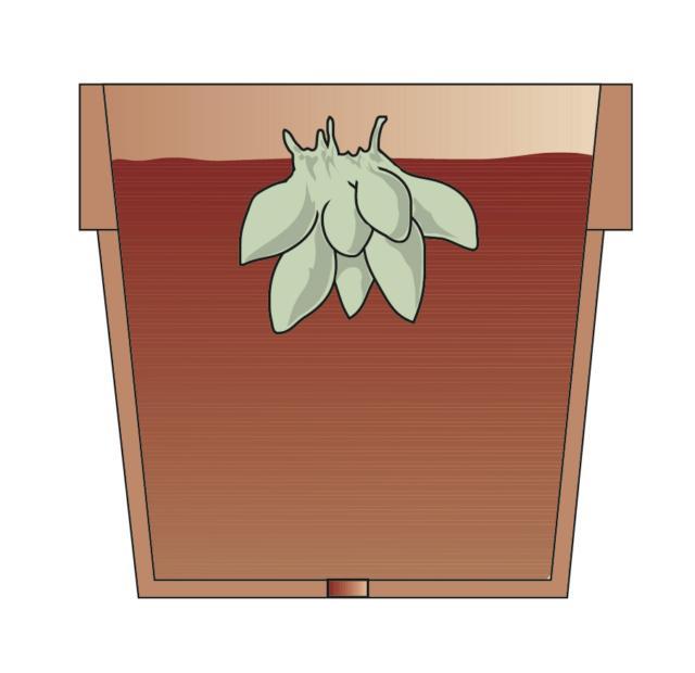 1. Se lo scorso autunno, i rizomi sono stati tolti dal terreno del giardino e sistemati al riparo in uno strato di torba, adesso è il momento di trasferirli in vasi contenenti torba e sabbia, di porli in un ambiente con temperatura intorno ai 17-18°C e di annaffiarli abbondantemente.