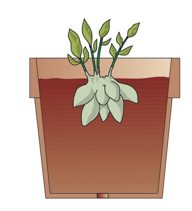 2. Nel giro di pochi giorni le piante entreranno in vegetazione. Aspettare che il germoglio si sviluppi di 15 cm, quindi estrarre il rizoma e staccarne, con una lama affilata, alcune porzioni dotate di almeno un germoglio.