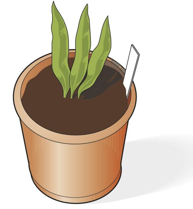 3. Collocare le porzioni in vasi di 20 centimetri di diametro, utilizzare una miscela costituita da terriccio universale e sabbia in parti uguali. Mantenere i vasi in casa fino a quando il germoglio incomincia svilupparsi.