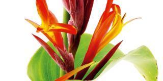 Canna indica: foglie e fiori ornamentali per i giardini soleggiati e caldi