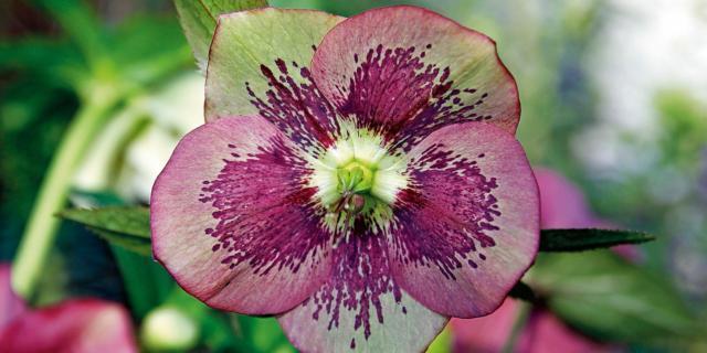 Ellebori: i fiori che sbocciano d'inverno