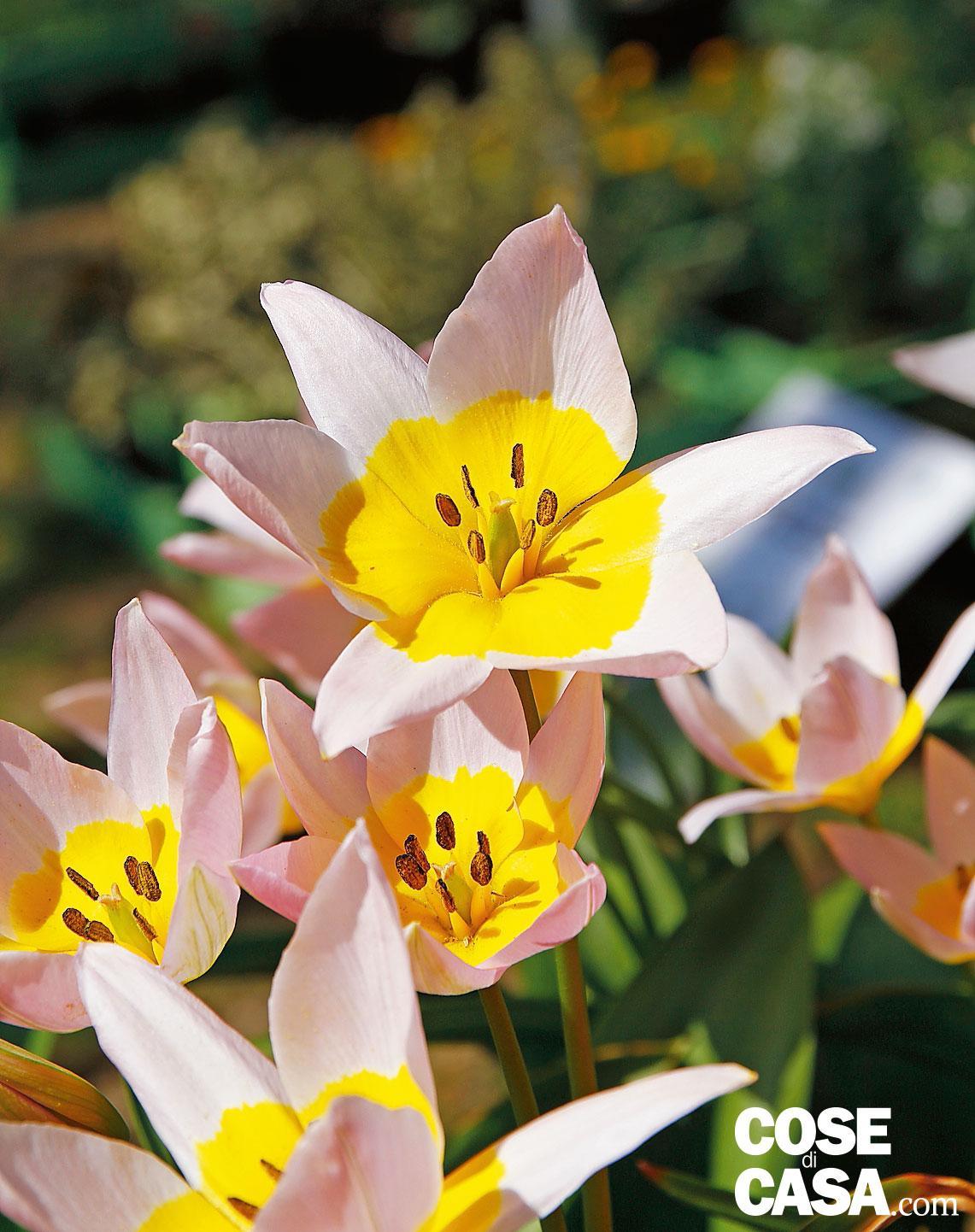 Fiori Bianchi Con Centro Nero.Come Scegliere I Tulipani Per Il Giardino Di Casa Cose Di Casa