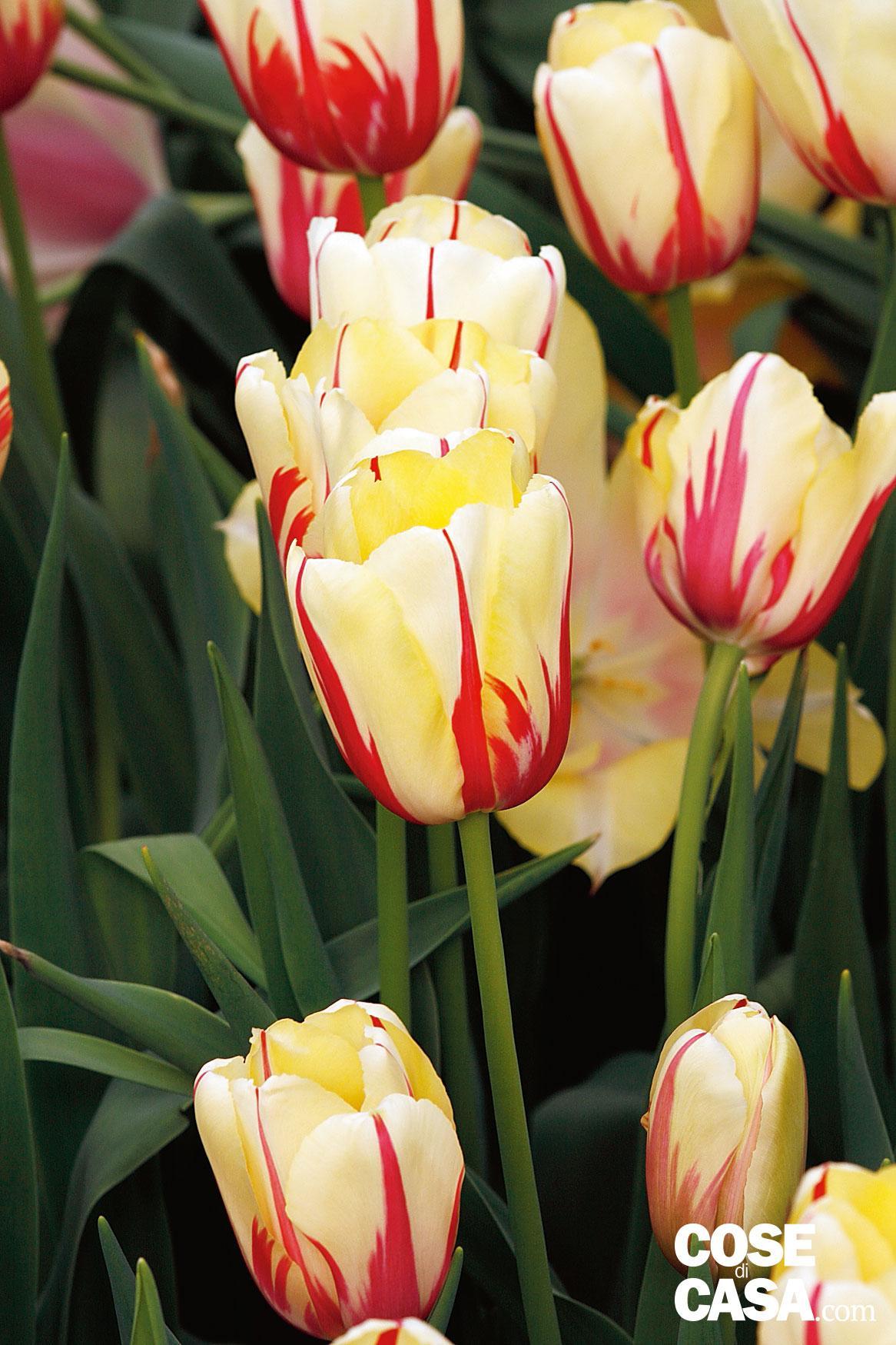 Come Si Piantano I Tulipani come scegliere i tulipani per il giardino di casa - cose di casa