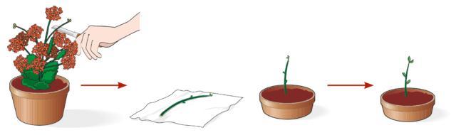 Con un taglierino affilato e ben pulito, staccare da una pianta sana una porzione di fusticino lunga 8-10 cm. Lasciare asciugare la talea su un pezzo di carta assorbente da cucina per uno o due giorni.Quindi riempire un vasetto di 8 cm di diametro con un mix formato da terriccio e sabbia in parti uguali. Inserire la talea e spostare il vasetto in un ambiente luminoso alla temperatura di 20-22°C, controllando che il terriccio sia sempre leggermente umido.A questa temperatura la talea radica nel giro di poche settimane, dando origine a nuovi germogli e quindi a una nuova pianta.
