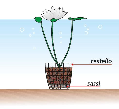 Le piante da coltivare nel laghetto e ai suoi bordi cose for Laghetto in plastica