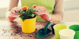 Le rose in vaso si risvegliano: come aiutarle