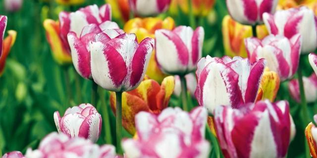 Curare i tulipani fioriti e farli durare a lungo