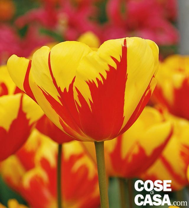 tulipano-holland-queen