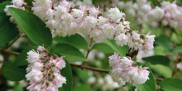 Philadelphus e Deutzia due arbusti profumati in primavera