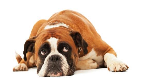 Se il cane ha l'ansia da separazione