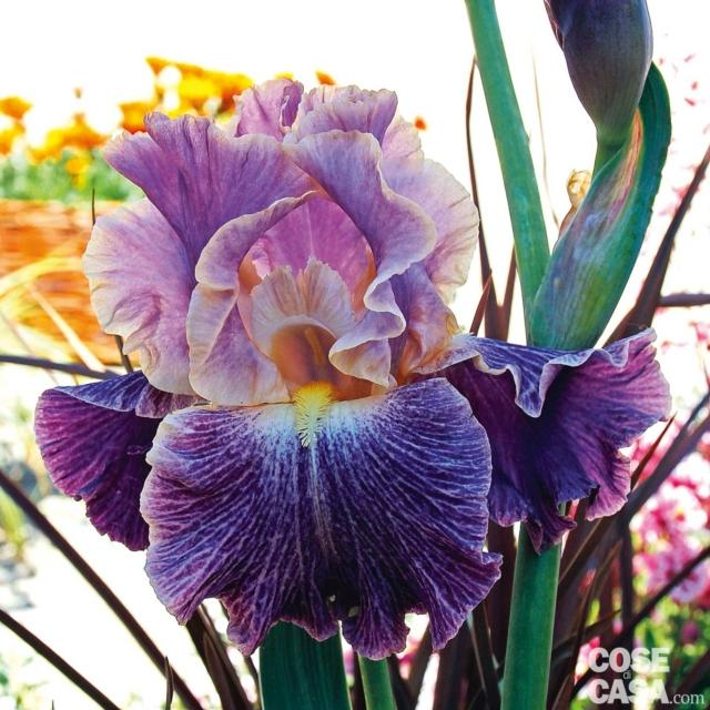 iris-elisabethan