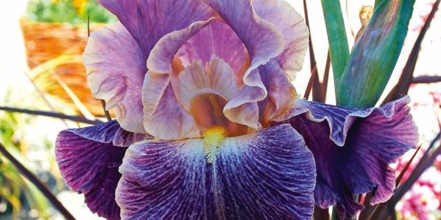 Iris 'Elizabethan age'
