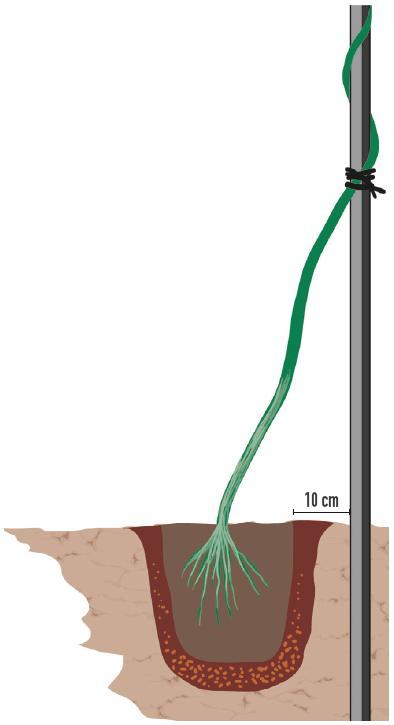 La buca deve essere scavata alla distanza di circa 10 cm dalla struttura del pergolato. Sul fondo è bene disporre uno strato di terriccio concimato, mischiato a concime organico (per esempio letame in pellet) o granulare a lenta cessione. La presenza di concime aiuterà la pianta ad attecchire e a riprendere l'attività vegetativa nel suo nuovo alloggio con più energia.Il fusto principale viene subito assicurato alla struttura della pergola, legandolo con un laccio.Una volta alloggiata nella buca, si colmano gli spazi vuoti con terriccio di tipo universale e si preme bene ai bordi per fare aderire bene la terra al pane radicale della nuova pianta. Quindi si innaffia abbondantemente.Man mano che i fusti si allungano, sarà necessario legare i rami della pianta alla pergola e indirizzarli nella direzione voluta in modo tale da ottenere una copertura omogenea e totale della struttura.Per una crescita sana e rigogliosa, è bene non dimenticarsi di fornire periodicamente un concime specifico per piante fiorite, solitamente in formato liquido, ma anche granulare, secondo le dosi e le modalità indicate in etichetta. Bagnature regolari e fertilizzazione permetteranno di ottenere in breve tempo una pergola verde e rigogliosa.