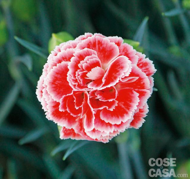 Dianthus-coral-reef