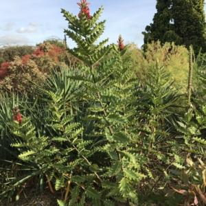 Un'altra immagine della pianta Acanthus sennii