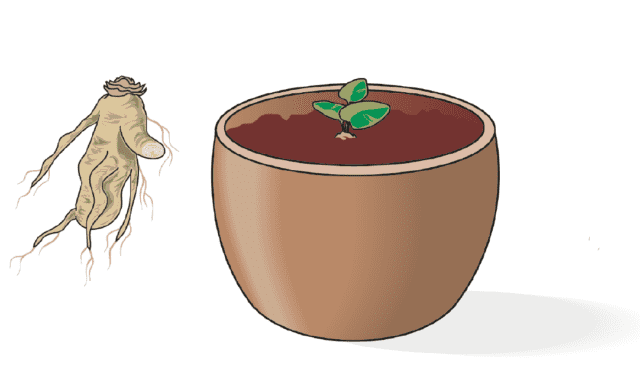 Il metodo migliore è quello dell'utilizzo di porzioni di radice (o rizoma) dotate di almeno una gemma: queste possono essere prelevate da piante già esistenti, scavando nella zona del colletto e prelevandole con un coltello ben affilato e pulito, oppure possono essere acquistate presso un vivaista o centro giardinaggio ben fornito.La porzione di rizoma va interrata in vaso, in terreno leggero e leggermente umido, mantenendo la gemma appena al di fuori della superficie del terreno.