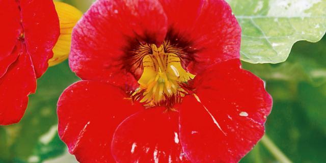 Tropaeolum majus Alaska 'Raspberry' – nasturzio