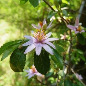 'Grewia occidentalis' del Vivaio Donne di Piante