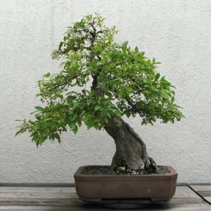 Un bonsai Malus sp del Vivaio Everflor