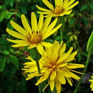'Scorzonera hispanica' del Vivaio Floricultura Geel