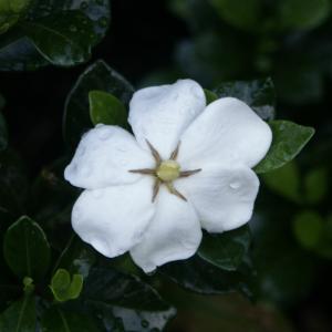 Gardenia 'Kleims hardy' del Vivaio Pollici Rosa