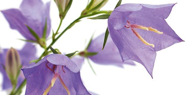 Con le campanule in vaso, fioriture colorate per tutta l'estate