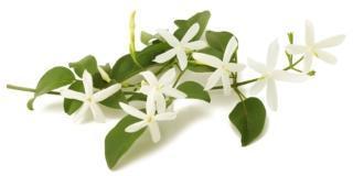Le cure di stagione per aiutare la fioritura del gelsomino