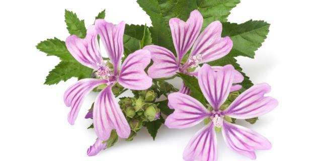 Malva, malvone, malvarosa: fioriture colorate senza fatica