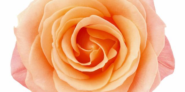 Rose stabilizzate: belle per anni
