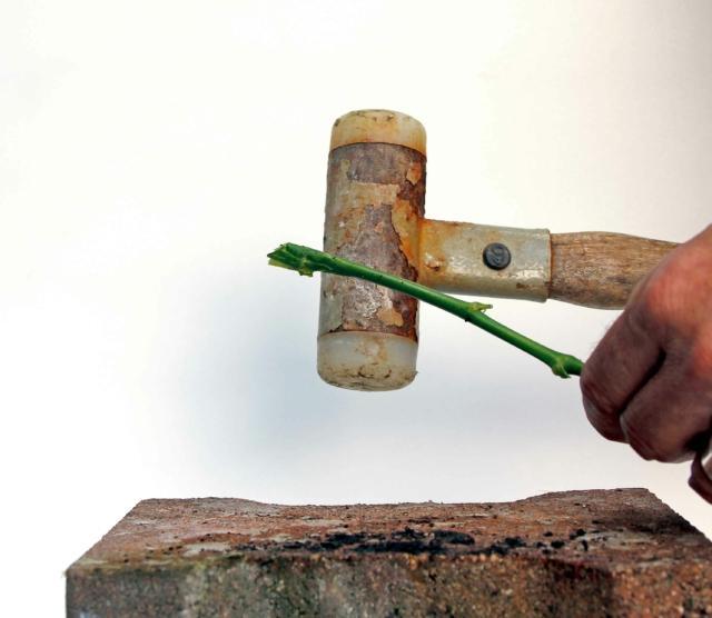 2- Accorciate lo stelo di un paio di centimetri e schiacciatelo nella porzione che resterà a bagno: immergetelo in una soluzione fatta d'acqua e glicerina, due parti della prima, una della seconda. La rosa assorbirà la soluzione stabilizzante e la diffonderà in tutti i tessuti della pianta.