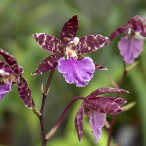 odontonia fiona issler orchidea tra le preferite da afrisio
