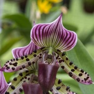 paphiopedilum blaze grande orchidea