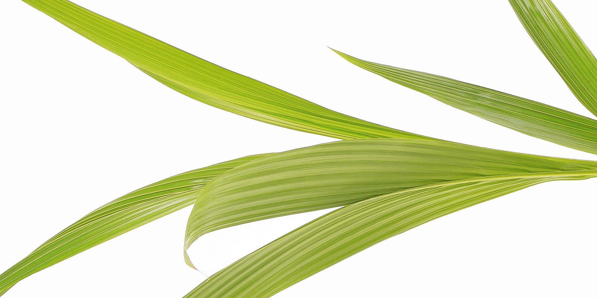 Palme Da Vaso Per Esterno palma da cocco: in casa con giusta umidità - cure, concime