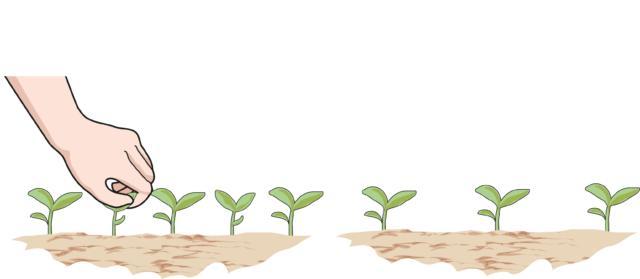 Appena nate, le plantule devono essere diradate, per avere più spazio e crescere forti e vigorose. La distanza da mantenere tra le piante dipende dall'altezza che raggiungeranno: in genere possono bastare 15-20 cm l'una dall'altra; per P. orientale meglio 50-60 cm, per P. nudicaule lasciare 30-40 cm.