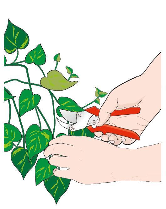 1. Da fusti sani, prelevare porzioni apicali lunghe almeno 15 cm. Eliminare le foglie basali. Tagliare a metà le foglie rimaste per limitare l'evaporazione.