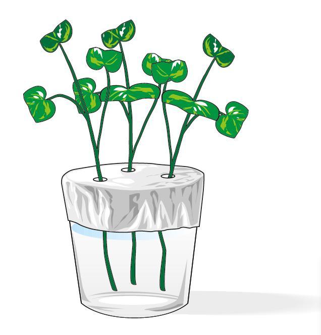 3. Infilare nel bicchiere una talea per ogni foro e assicurarsi che il gambo sia immerso nell'acqua ma non del tutto perché le radici, crescendo, non devono arrivare a toccare il fondo del contenitore. Porre le talee in casa o in un locale dove la temperatura si mantenga intorno ai 20°C. Sostituire l'acqua ogni 3-4 giorni, quando perde limpidezza o diventa torbida. Usare sempre acqua a temperatura ambiente.