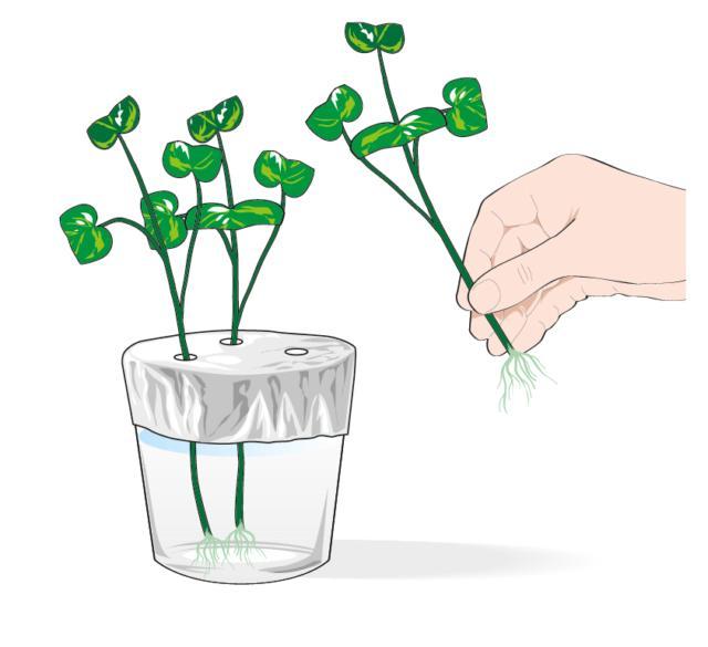 4. La talea in acqua radica in circa 10 giorni. Quando sono cresciute le radichette estrarre delicatamente le piante dal bicchiere.