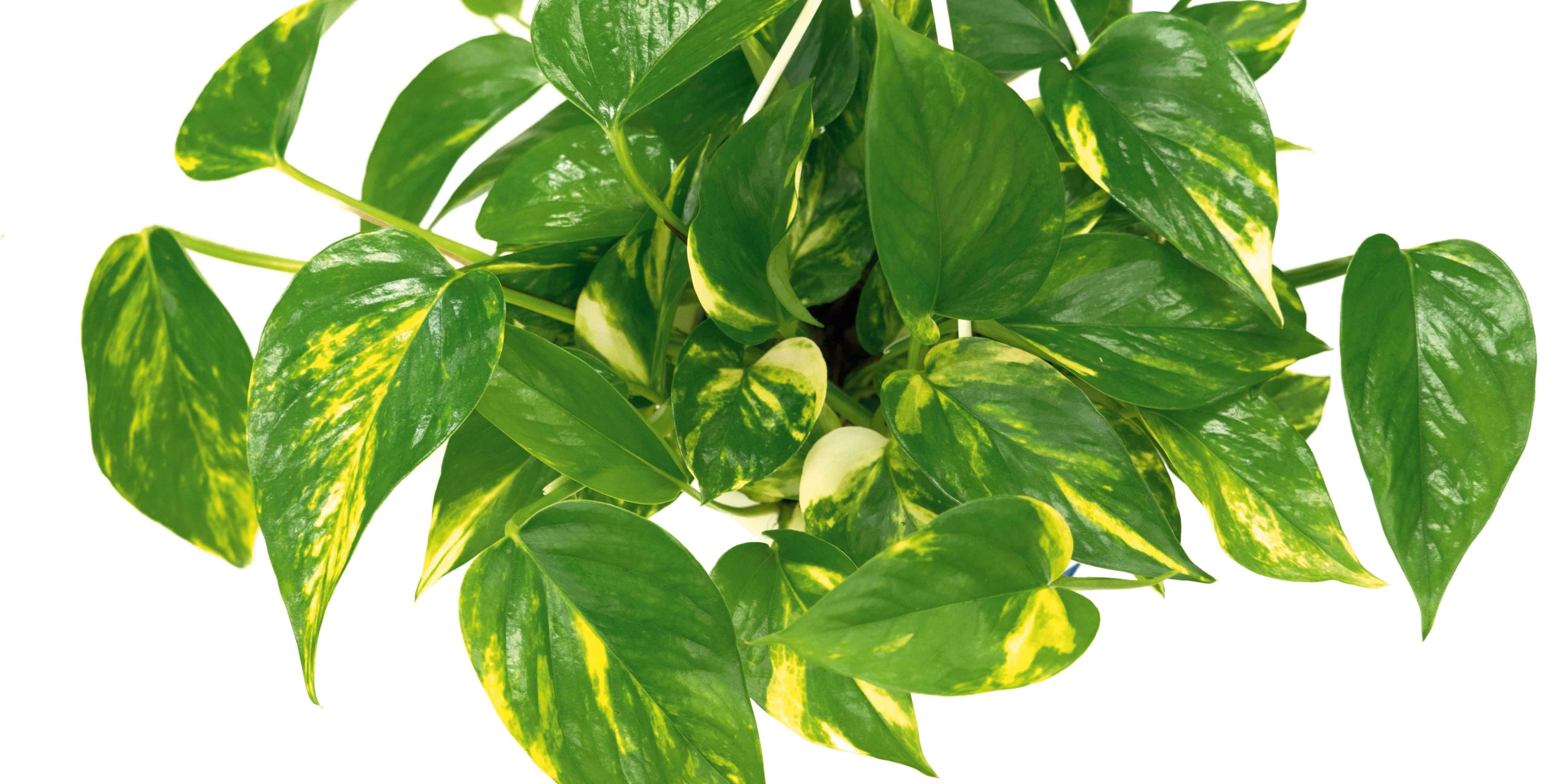Edera Pianta Da Interno riprodurre le piante da interni per talea in acqua - cose di