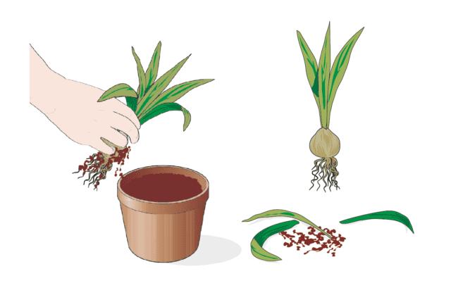 1. Estrarre i bulbi dal vaso o dal terreno è un'operazione da fare con delicatezza, per evitare che si rovinino. A volte è sufficiente tirare piano piano le foglie per estrarre l'intera pianta. Ma spesso, complice l'indurimento e compattamento del substrato, è necessario aiutarsi con un rastrellino o una piccola forca, preferibilmente di plastica, a denti morbidi, così da non lesionare i bulbi. Le intere piante, una volta estratte dal terriccio, possono essere riposte momentaneamente entro vasi vuoti, raggruppate per tipo. Quindi si procede alla pulizia dei singoli bulbi, uno alla volta: si elimina tutta la terra rimasta attaccata al bulbo e le tuniche secche che lo avvolgono. Inoltre si tagliano le foglie ormai completamente secche. I bulbi troppo piccoli, quelli danneggiati o malati (per esempio quelli marci o ammuffiti) vanno eliminati.