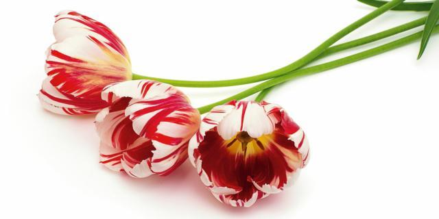 Tulipani sfioriti: estrarre i bulbi dal terreno e conservarli