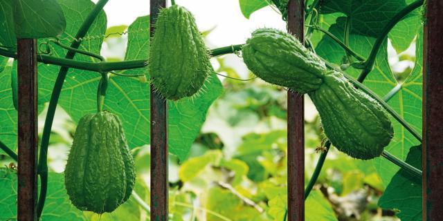 Nell'orto: coltivare le zucchette spinose