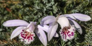 L'orchidea nana del Tibet
