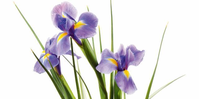 Dividere i cespi di iris dopo la fioritura