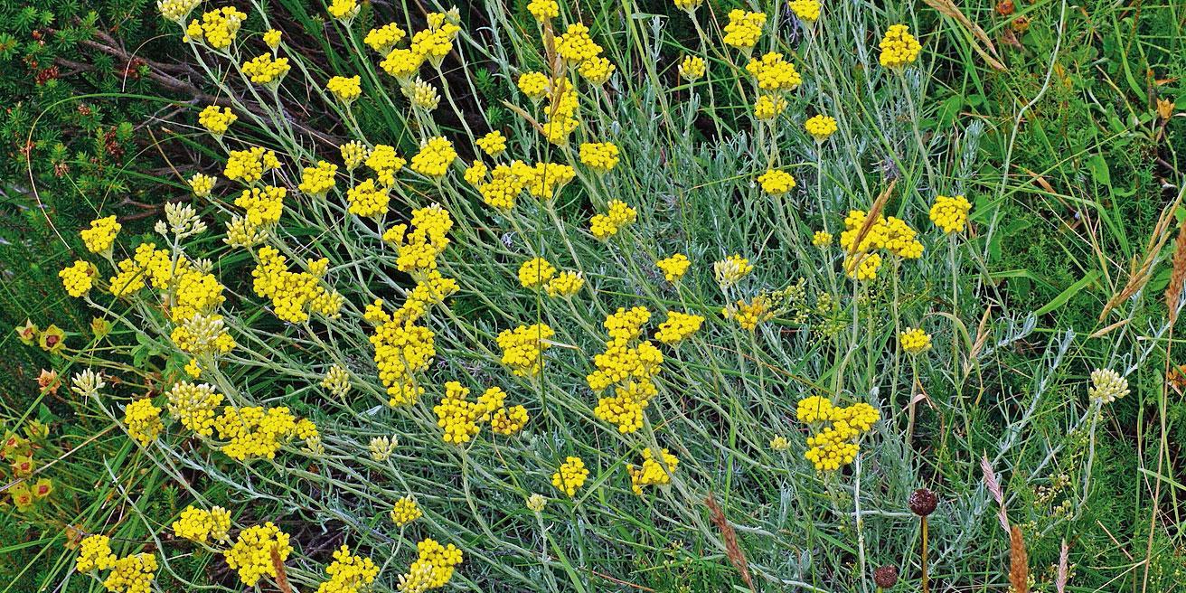 Piante Basse Da Aiuola elicriso e altre erbe profumate per il giardino di casa