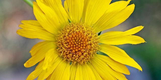 Gaillardia aristata 'Maxima Aurea'