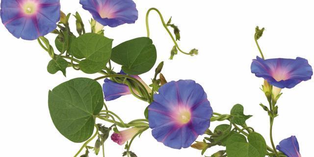 Per l'estate: la casetta fiorita con l'ipomea
