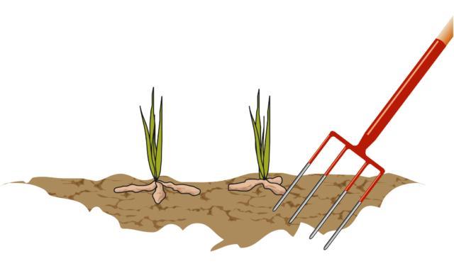1. Come prima cosa è necessario estrarre l'intrico di rizomi dal terreno. Quest'operazione non è semplicissima, alle volte richiede un certo sforzo ed è necessario utilizzare una forca per farlo.