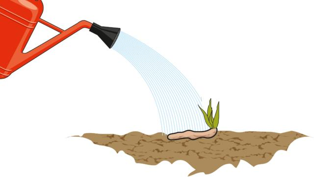 """3. Con la divisione dei cespi di iris, le singole porzioni di rizoma ottenute possono infine essere messe a dimora in zone separate del giardino, o anche in vasi (del diametro di almeno 30 cm), ad una distanza minima di 30 cm l'una dall'altra. Il terreno deve essere soffice e ben drenante, mai troppo umido, condizione che favorirebbe lo sviluppo di marciumi deleteri per i rizomi.Bisogna, inoltre, tener presente che queste piante non amano la profondità, ma preferiscono stare abbastanza in superficie, per """"vedere"""" il sole: il rizoma va dunque posizionato con la parte superiore affiorante dal terreno: si scelga sempre una zona ben soleggiata del giardino per ottenere piante rigogliose e ricche di fiori. Infine si innaffia il tutto moderatamente, così da far aderire bene i rizomi al terreno, nel loro nuovo alloggio."""