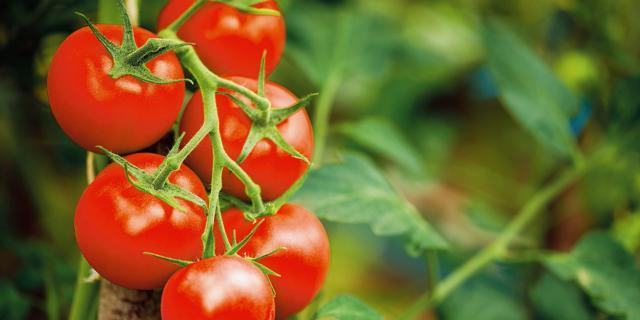 Gli accorgimenti per prolungare la raccolta dei pomodori